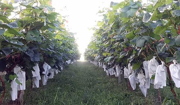 地森葡萄园(来宾阳光分园)是什么样的葡萄竟然卖到30元一斤